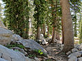Tsuga mertensiana old trees Desolation Wilderness.jpg