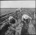 Tule Lake Relocation Center, Newell, California. Harvesting spinach. - NARA - 538305.tif