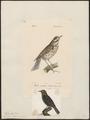 Turdus iliacus - 1700-1880 - Print - Iconographia Zoologica - Special Collections University of Amsterdam - UBA01 IZ16300227.tif