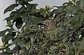 Turdus philomelos - Song Thrush 01.jpg