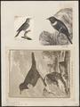 Turdus torquatus - 1700-1880 - Print - Iconographia Zoologica - Special Collections University of Amsterdam - UBA01 IZ16300253.tif