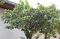 Turunç - Citrus aurantium 05.JPG