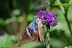 Two-barred flasher (Astraptes fulgerator azul).jpg
