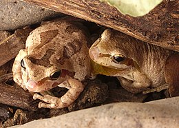 Two brown california tree frogs.jpg
