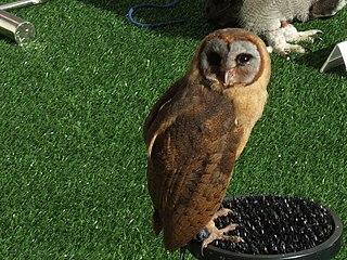 Ashy-faced owl species of bird