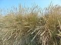 Unidentified Poaceae.001 - Mañon.jpg