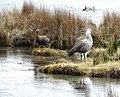 Upland Goose pair, Argentina - gailhampshire.jpg