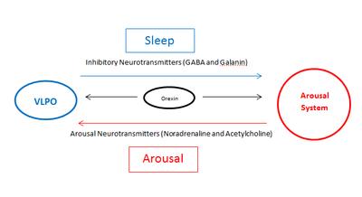 Ventrolateral preoptic nucleus - Wikipedia