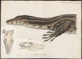 Varanus bivittatus - 1700-1880 - Print - Iconographia Zoologica - Special Collections University of Amsterdam - UBA01 IZ12400011.tif