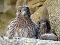 Vendée - Falco tinnunculus 02.jpg
