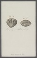 Venus scalaris - - Print - Iconographia Zoologica - Special Collections University of Amsterdam - UBAINV0274 077 11 0030.tif