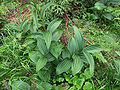 Veratrum lobelianum - leaves.jpg