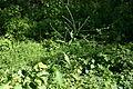 Verbena urticifolia 002.JPG