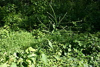 Verbena urticifolia 002