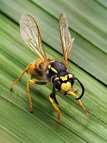 "A social wasp, ""Vespula germanica"""
