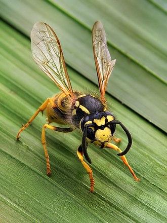 Wasp - A social wasp, Vespula germanica