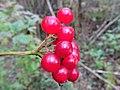 Viburnum opulus (Guelder Rose) berries, Sorn, East Ayrshire.jpg