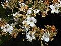 Viburnum rhytidophyllum 2016-05-17 0589b.jpg