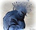 Victoria Crowned Pigeon (24632599055).jpg