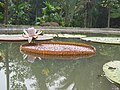 Victoria amazonica - Giant Water Lily at Nilambur (7).jpg
