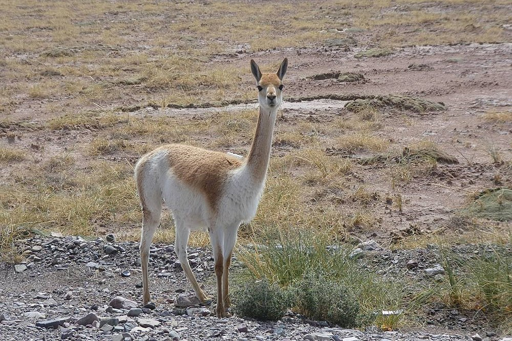The average litter size of a Vicuña is 1
