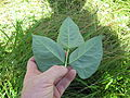 Vigna unguiculata leaf7 (10737502513).jpg
