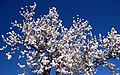 Villeneuve de la Raho - Amandiers en fleurs sur le bord du Lac.jpg