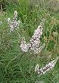 Vitex agnus-castus kz02.jpg