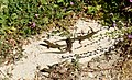 Viviparous lizard Spain 01.jpg