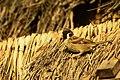 Vrabec polní (Passer montanus) na doškové střeše v Kong Loru, Laos.jpg