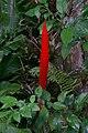 Vriesea flower.jpg
