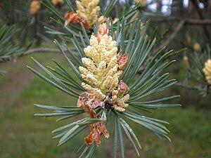 Scots pine - Ripe pollen cones, Poland