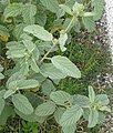 Waltheria indica-leaves.jpg