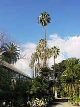 Washingtonia filifera Palermo 2006.jpg