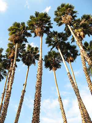 Washingtonia robusta - Mexican Washingtonias planted in Los Angeles County Arboretum and Botanic Garden