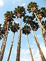 Washingtonia robusta.jpg