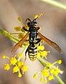 Wasp August 2007-8.jpg