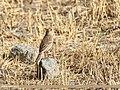 Water Pipit (Anthus spinoletta) (43842853612).jpg