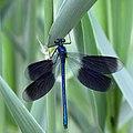 Weidebeekjuffer met open vleugels.jpg