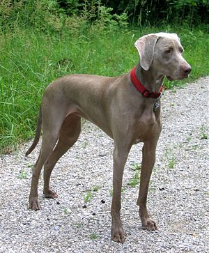 Weimaraner - Short-haired Weimaraner
