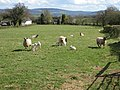 Welsh lamb - geograph.org.uk - 1242385.jpg