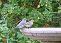 Western Bluebird at the bath (15794610065).jpg