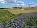 Wheat and phacelia on the downs above Letcombe Bassett - geograph.org.uk - 510974.jpg