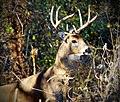 White-Tailed Buck Deer in Woods, odocoileus virginianus.jpg