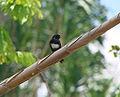 White-banded Swallow (Atticora fasciata).jpg