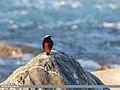 White-capped Redstart (Chaimarrornis leucocephalus) (32809705181).jpg