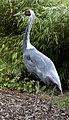 White-naped Crane 2 (4996441388).jpg