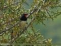 White-tailed Rubythroat (Luscinia pectoralis) (20101381159).jpg