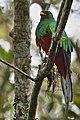 White-tipped Quetzal.jpg