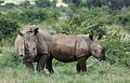 White rhinoceros or square-lipped rhinoceros, Ceratotherium simum. Note that in some of these photos there are a female with a calf, and a male that seems to have been challenging the calf. (17152285900).jpg